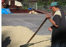 Drying the coffee in a coffee factory in Boquete